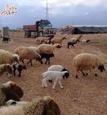 رئيس جمعية اللحامين باللاذقية يحذر المواطنين: لاتشتروا خروف قبل وزنه