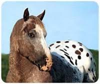 appaloosa horse note holder appaloosa horse mouse pad