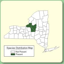 Centaurea scabiosa - Species Page - NYFA: New York Flora Atlas