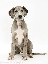 blue harlequin great dane pup maisie sitting white background