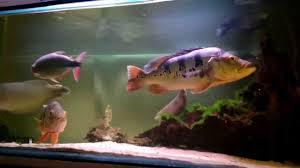 South American Predatory Fish Tank Hoplerythrinus Unitaeniatus