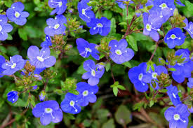 early spring perennials. Delighful Perennials Veronica Georgia Blue  Copy For Early Spring Perennials F