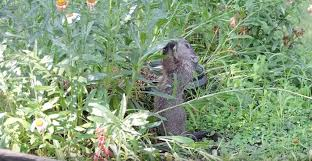 how to keep groundhogs out of my garden.  Keep For How To Keep Groundhogs Out Of My Garden I