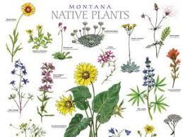 montana native plant poster   Native plant landscape, Wildflower ...