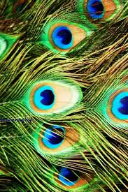 peacock wallpaper for mobile. Contemporary Peacock Hd Wallpapers Of Peacock Feather  Wallpaper For Mobile And For E