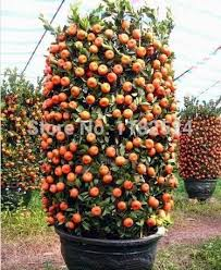Bartlett Pear Trees From Stark Brou0027s  Bartlett Pear Trees For SaleHybrid Fruit Trees For Sale