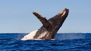 a picture of a whale. Beautiful Picture Humpback Whale Intended A Picture Of Whale