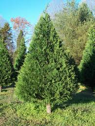 The Leyland cypress resembles red cedars but is lighter green.