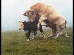bulls and cows mating. Unique Bulls Animals  Direct 2 Cows Mating Animal Attacks Most Amazing Animal  Attack YouTube On Bulls And Cows Mating U