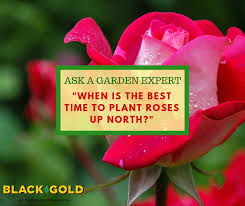 when is the best time to plant roses up north