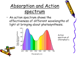 Action Spectrum Ppt Photosynthesis Powerpoint Presentation Id 1780512
