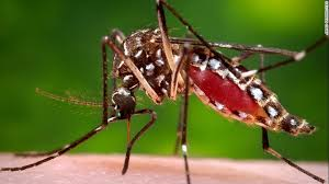 Image result for images of dengue mosquito i