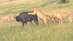 lioness hunting.  Lioness Lioness Hunting A Male Buffalo Intended Hunting YouTube