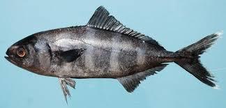 Лоцман (<b>рыба</b>) — Википедия