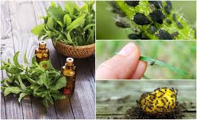 Essential Oils Pest Control Chart 5 Best Essential Oils To Repel Common Bugs Insects Pests