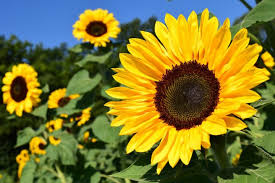 Sunflower Growing Chart Sunflowers How To Plant Grow And Care For Sunflower