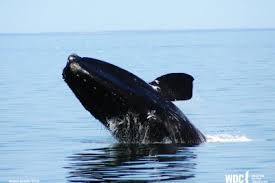 a picture of a whale.  Picture Breaching NA Right Whale For A Picture Of Whale