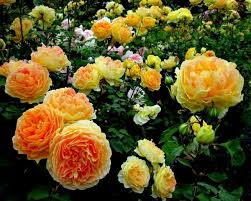 flower gardening for beginners. rose flower garden types shrubs gardening for beginners