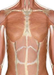 They include the trapezius latissimus dorsi levator scapulae and the rhomboids. Muscles Of The Chest And Upper Back