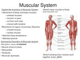 facts muscular system hd m com musculoskeletal system for kids muscular system facts anatomy muscles