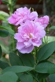 hansa rugosa rose