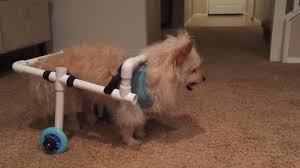 boyfriend builds wheelchair out of pvc pipes for girlfriend s disabled dog abc news
