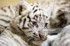 baby white tiger. Delighful Tiger White Tiger Baby Inside
