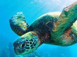 Sea Turtle Species Wwf