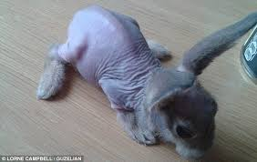 rabbit without fur.  Fur Rare Condition The Poor Bunny Began Shedding His Hair After He Was Born  Six Weeks And Rabbit Without Fur M