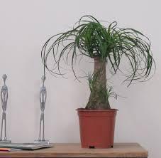 ... Large-size of Startling Pony Tail Palm Tree House Plant Quality Pony  Tail Palm Tree ...