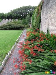 sx08058 red flowers in border by stone wall
