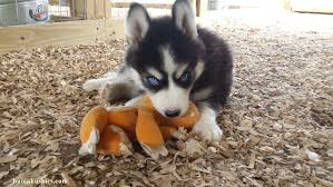 black and white husky puppy and toy