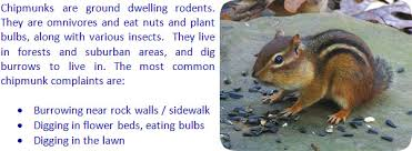 how to keep chipmunks out of garden. Modren How On How To Keep Chipmunks Out Of Garden Wildlife Animal Control