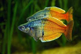 Exotic Fish   ... aquarium fish free wallpaper in free pet category:  Freshwater