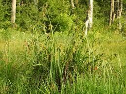 Carex comosa - Michigan Flora