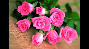pink roses special pink rose hd wallpaper images beautiful pink rose images