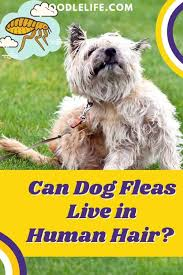 can dog fleas live in human hair 5