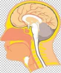 Anatomy Flip Charts Swallowing Anatomy Velopharyngeal Insufficiency Human Body
