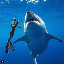 สุดยอดโมเมนต์! ฉลามขาวตัวยักษ์ว่ายน้ำคู่นักวิจัยในฮาวาย - โพสต์ทูเดย์ รอบโลก