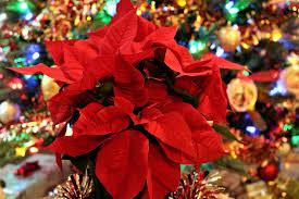 Weihnachtsstern Und Weihnachtsbaum Kostenloses Stock Bild
