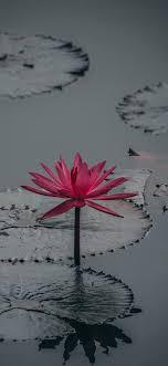 Lotus flower Wallpaper for iPhone 11 ...