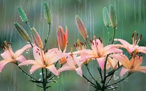 a rainy day flowers nature