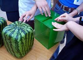 square watermelon plant.  Square Picture Of Grow A Square Watermelon In Plant