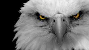 Bald Eagle Wallpaper and Background ...