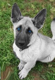 black german shepherd puppies with blue eyes.  Shepherd 18 Cute Dog Puppies With Blue Eyes In Black German Shepherd Puppies With Blue Eyes E