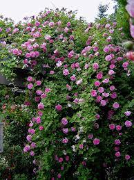 Best 25 Climbing Hydrangea Ideas On Pinterest  Climbing Shade Climbing Plants That Like Shade