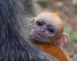 Golden Baby Monkey Poster
