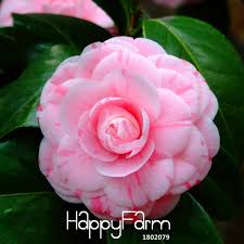 <b>Big Promotion</b>!<b>100 Pcs</b>/lot Pink Double Color Camellia bonsai ...