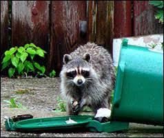 Raccoon Classification Chart Wildlife Encounters Adaptations Specialist Generalist