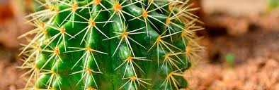 How To Grow And Care For Saguaro Cactus Lovethegarden